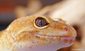 Leopardgecko (Super Hypo)